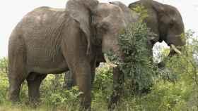 Los elefantes pueden dormir de pie