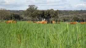 Vacas-centeno-encinas