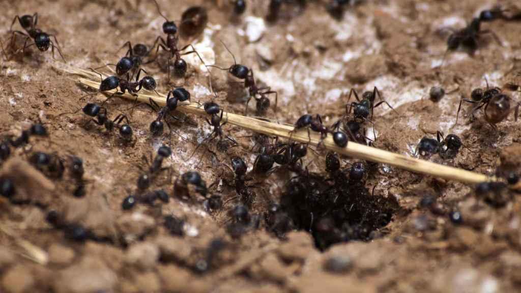 Hormigas carpinteras junto a su guarida.
