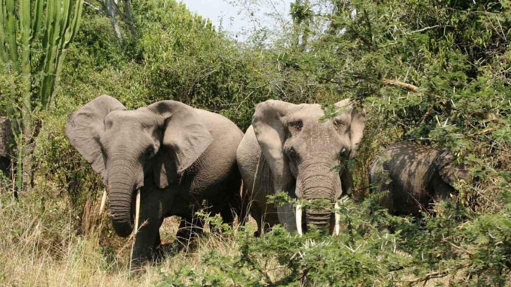 Elefantes en el Parque Nacional Queen Elizabeth.