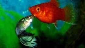 Dos peces de acuario flirteando