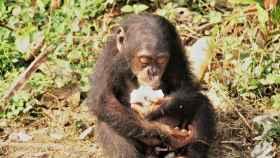 Un chimpancé comiendo fruta