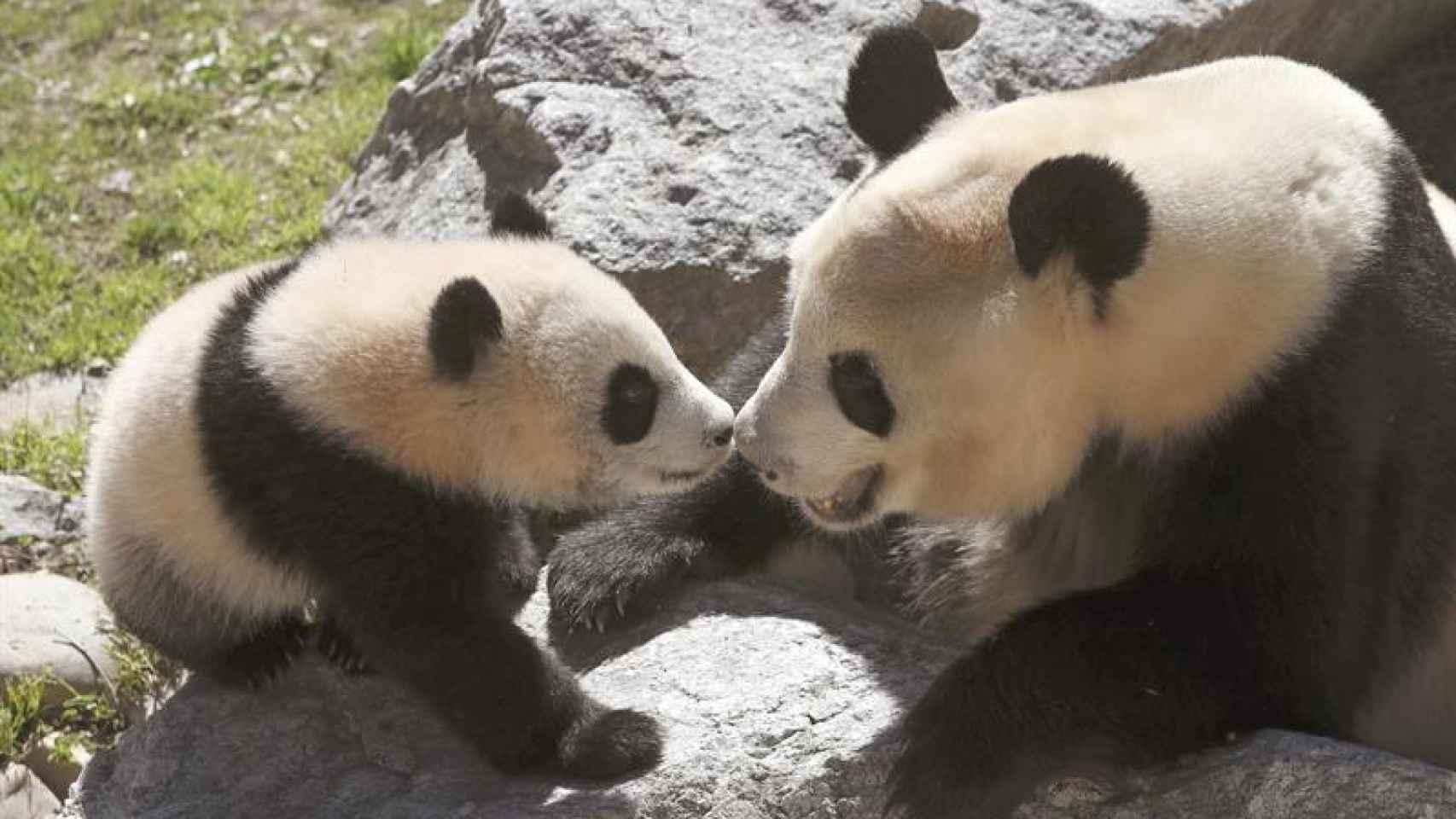 Chulina, la oso panda del zoo de Madrid