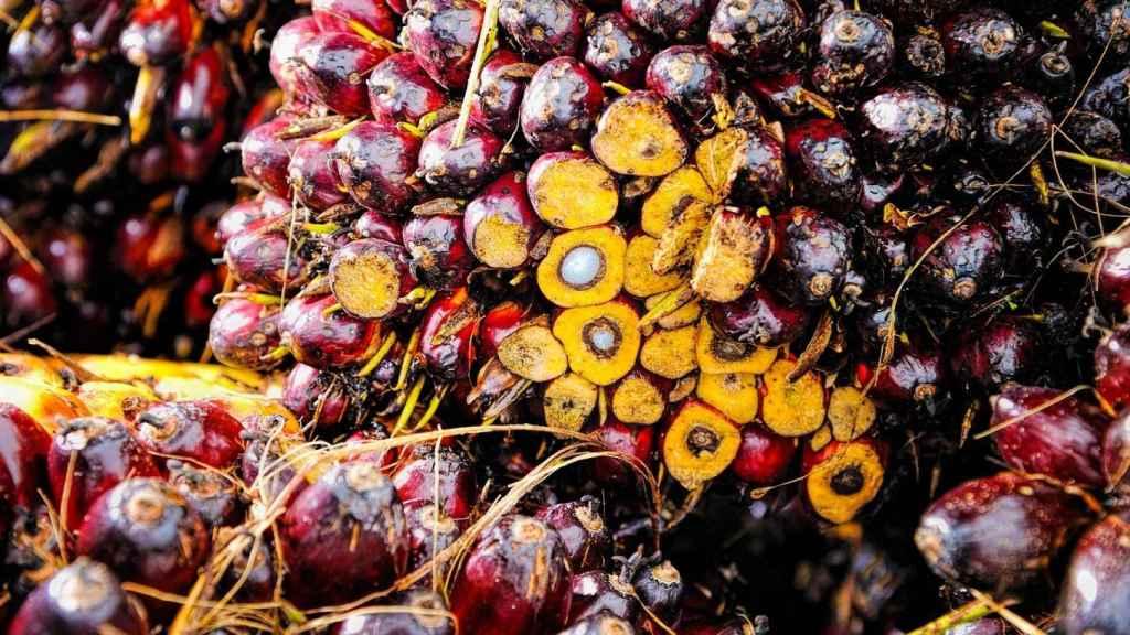 Materia prima para el aceite de palma.