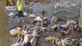 Los agentes encontraron a los animales muertos en la explotación ganadera