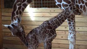 La jirafa April y su cuarta cría.