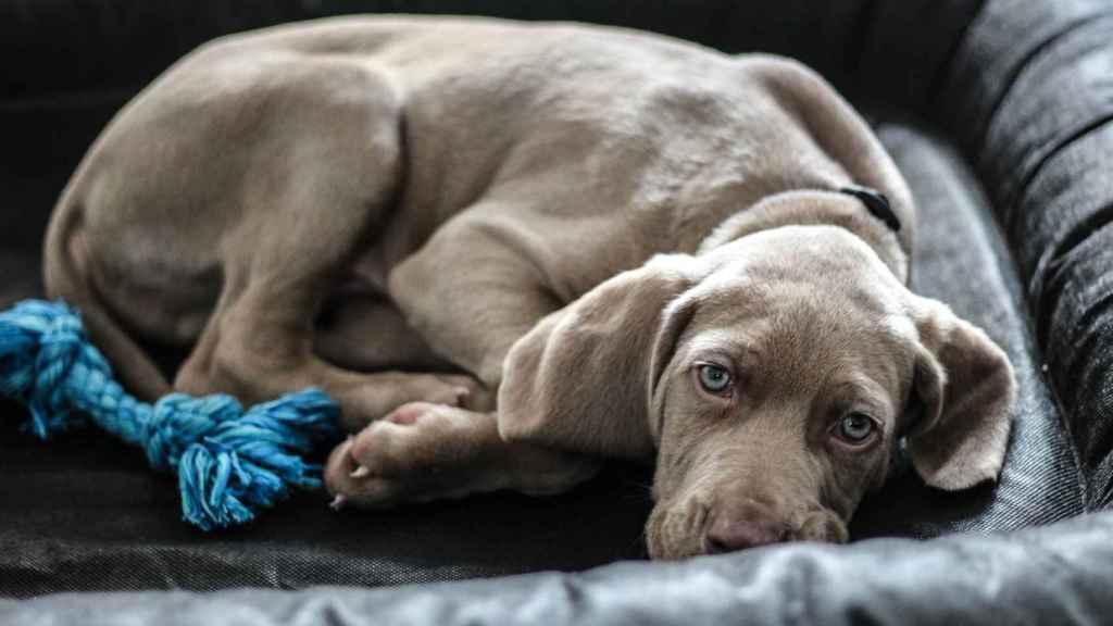 Antes de tumbarse, los perros se lo piensan