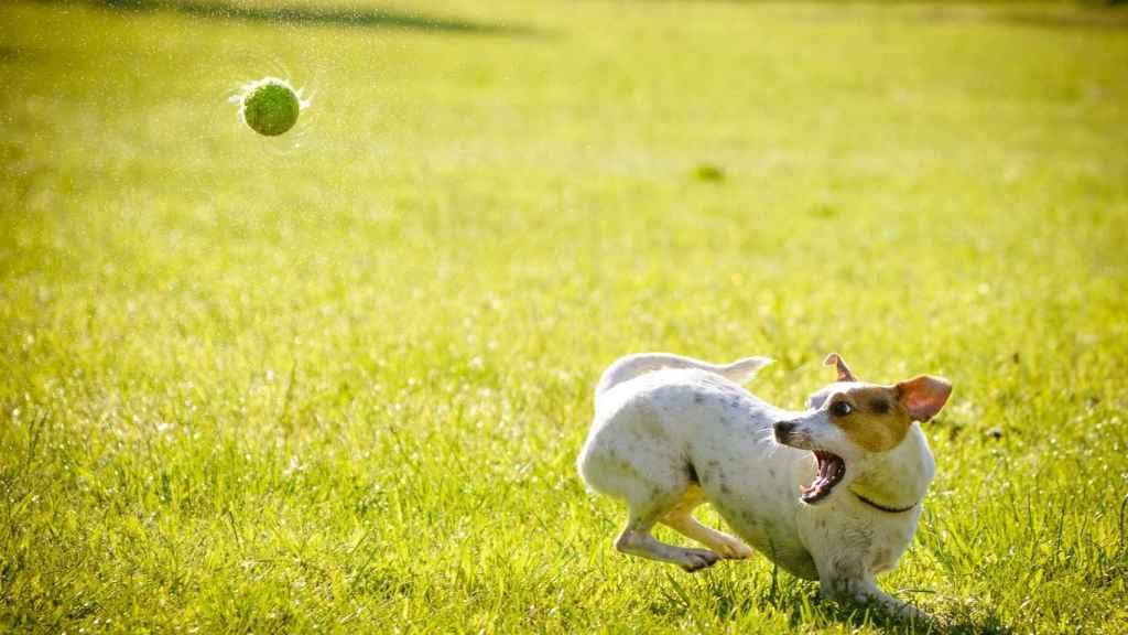 Les encanta perseguir una pelota.