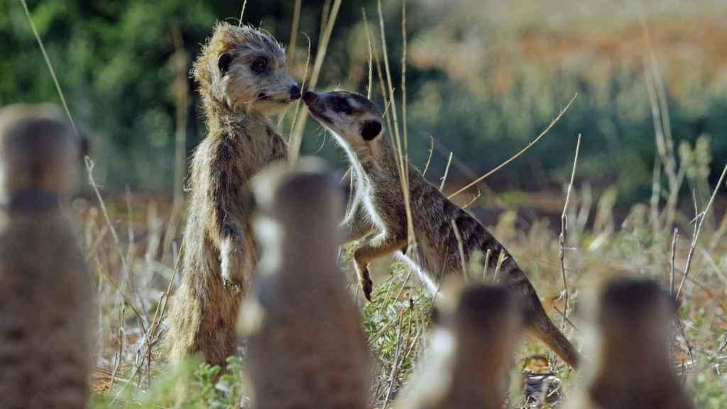 Un suricato huele a su pariente robótico.