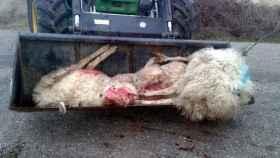 zamora upa coag ataque lobos ovejas