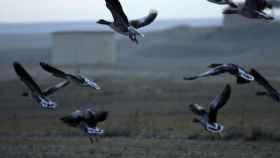zamora aves en la reserva regional de caza de lagunas de villafafila. CARMELO CALVO