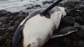 El cadáver de la orca Lulú.