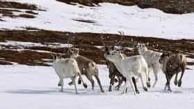 Una manada de renos noruegos.