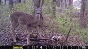 Imagen del ciervo comehumanos.