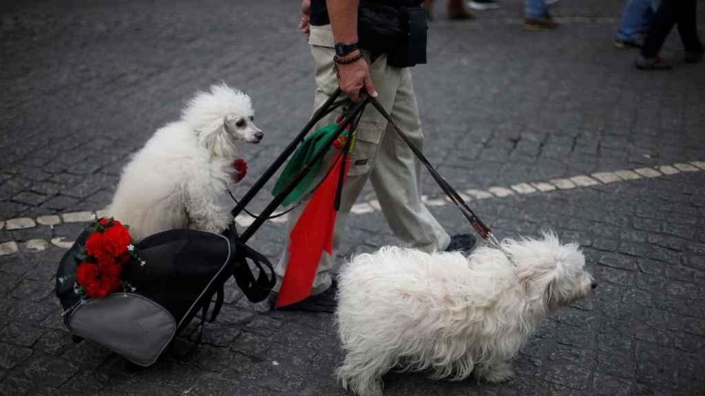 Un hombre pasea con sus perros por Lisboa