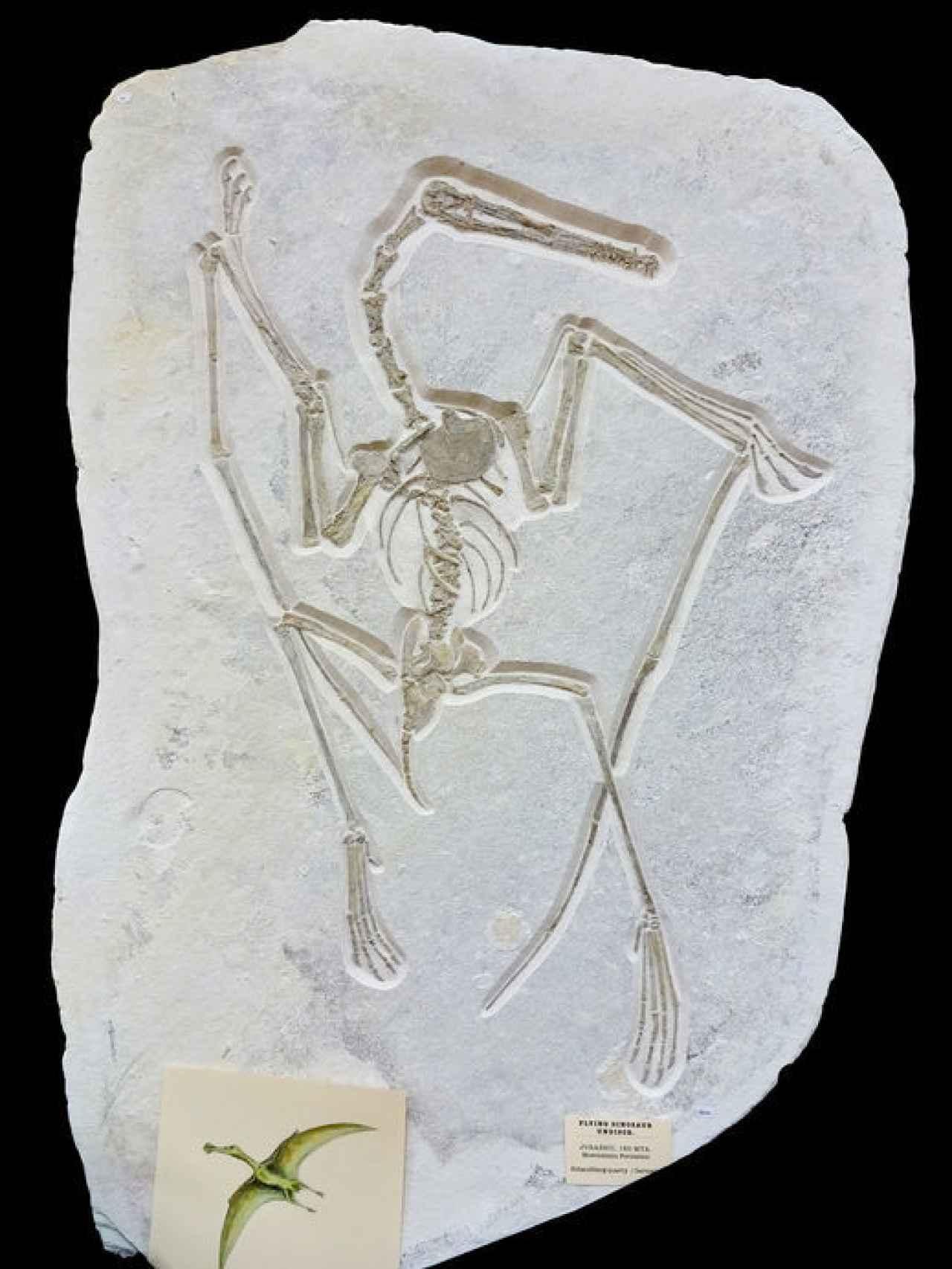El pterosaurio retirado de la subasta.