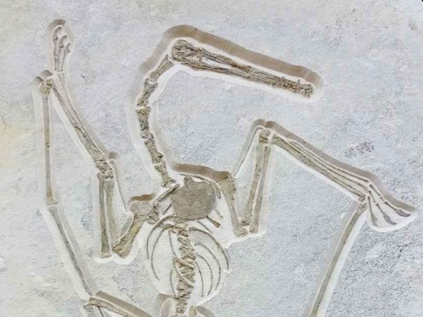 El ejemplar de pterosaurio cuya subasta se ha suspendido.