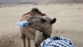 Un camello bebe agua en el desierto cercano al Mar Rojo, Egipto.