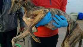 El galgo Triguero el día que salió de la perrera de Olivenza.