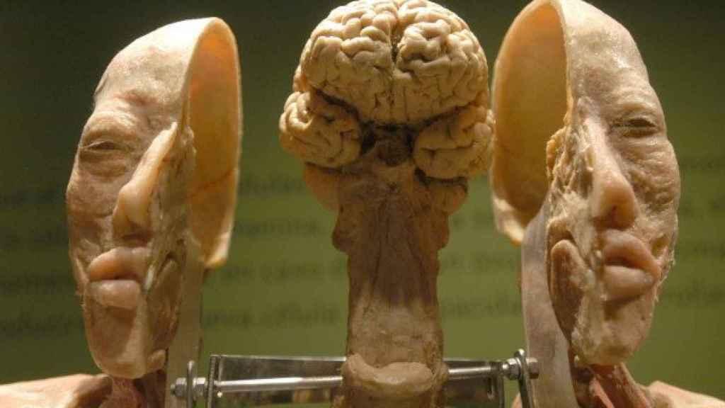 Imagen de un cerebro modelo
