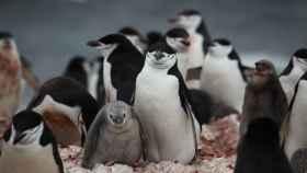 Los pingüinos establecen relaciones con una única pareja durante toda su vida
