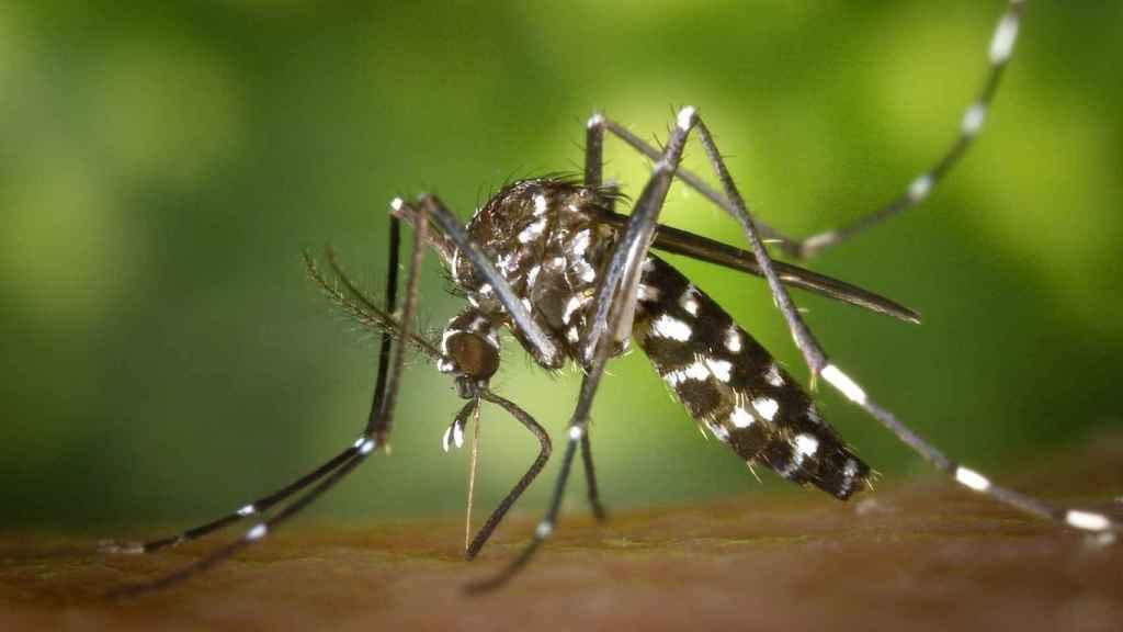 Un mosquito tigre o 'aedes albopictus' picando sobre la piel de un vertebrado.