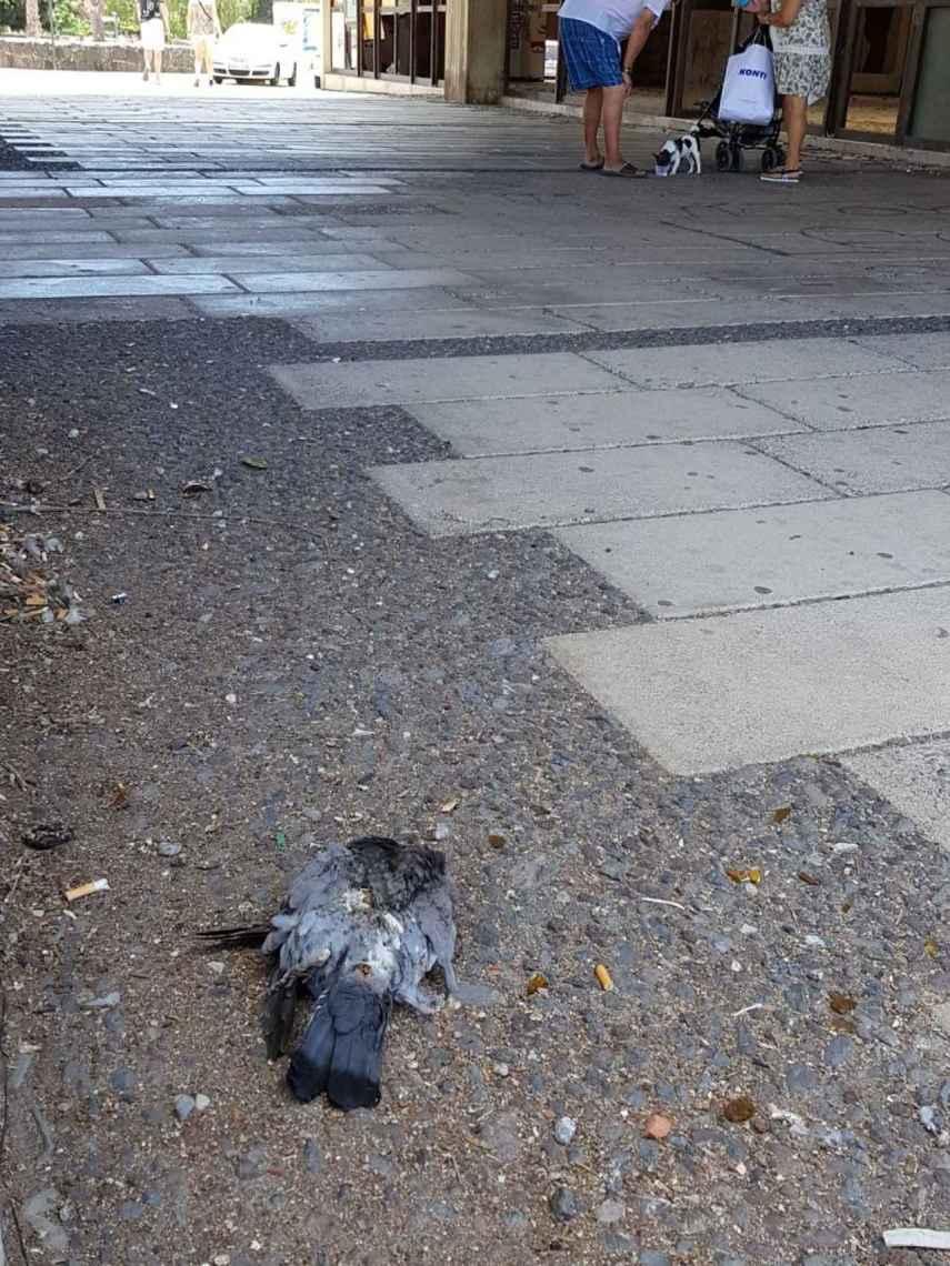 Las palomas muertas forman parte del paisaje urbano habitual de Ten-Bel