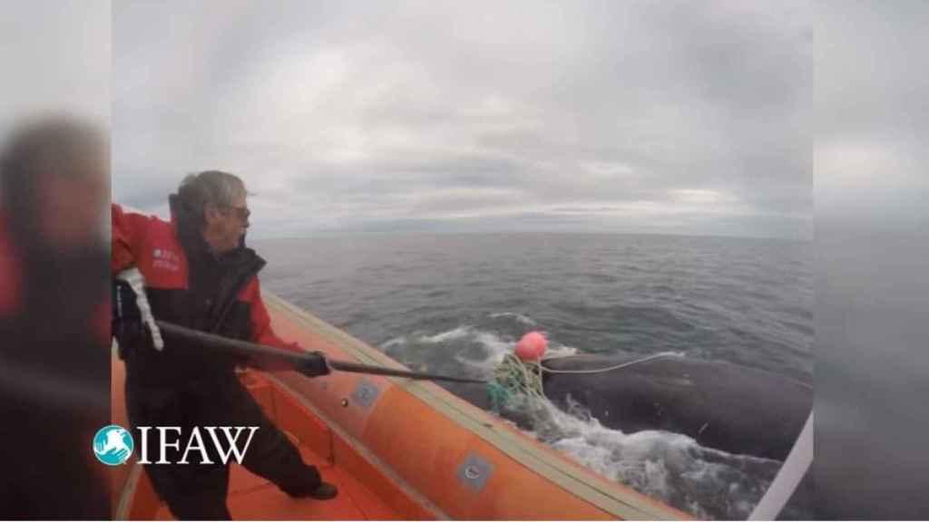 Joe Howlett libera a una ballena atrapada en una red en 2016