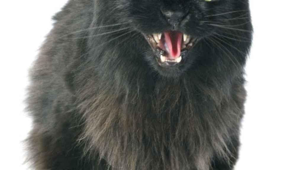 La toxoplasmosis podría no ser la única enfermedad asociada a los gatos.