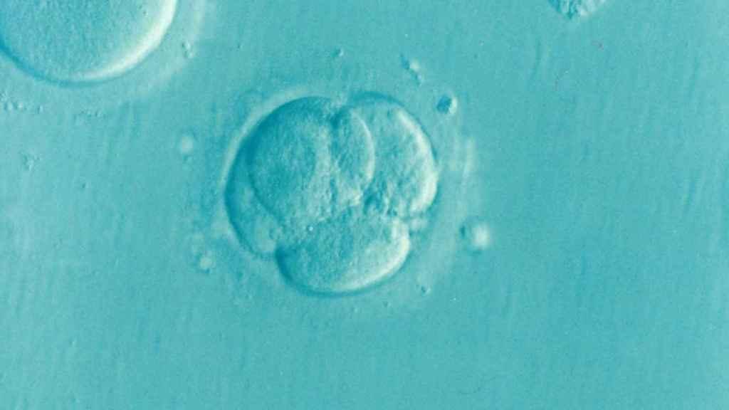 Un embrión humano en sus primeros días de gestación.