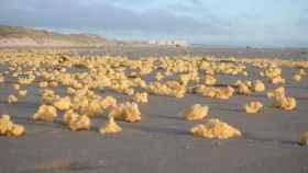 Una playa de Francia invadida por esponjas amarillas.