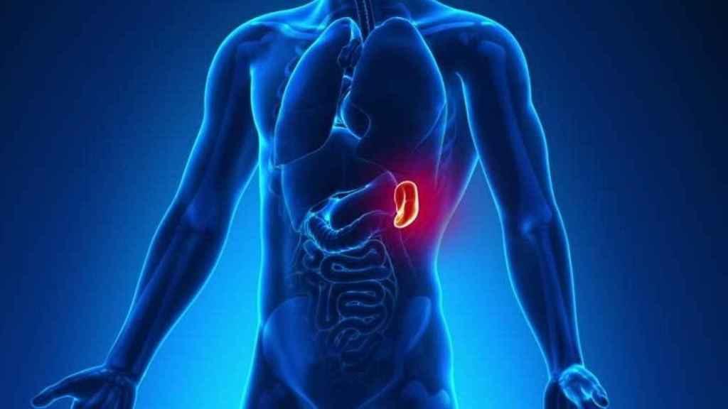 Ilustración que destaca la posición del bazo en el cuerpo humano.