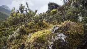 El páramo húmedo tropical de montaña caracteriza la vegetación del Cerro de la Muerte, a casi 3.500 metros de altura