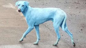 Un perro azul pululando por las calles de la India.