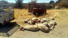 zamoa ataque ovejas muertas