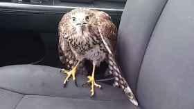 El halcón Harvey en el taxi de Bruso.