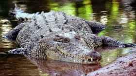 Un cocodrilo.