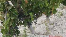 quinta-sardonia-bodega-vendimia-3
