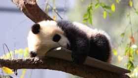 China es uno de los países que más demanda la profesión de cuidadores de osos panda.