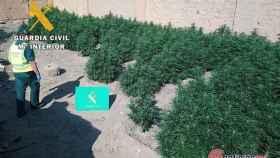 Burgos-marihuana-plantacion-guardia-civil