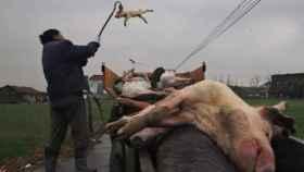 Un hombre recoge cerdos muertos.