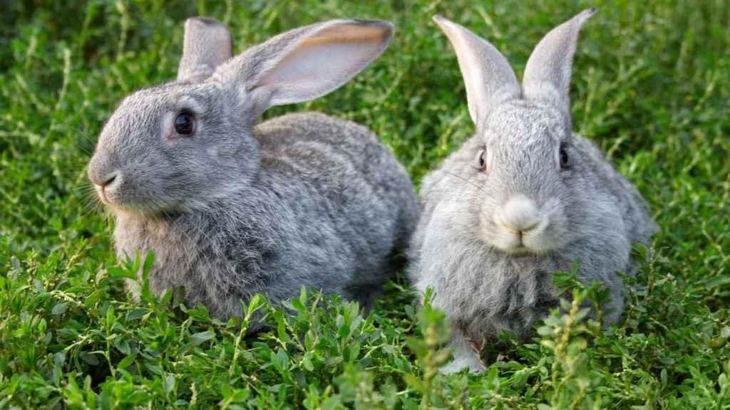 Dos conejos que no levantan sospechas.