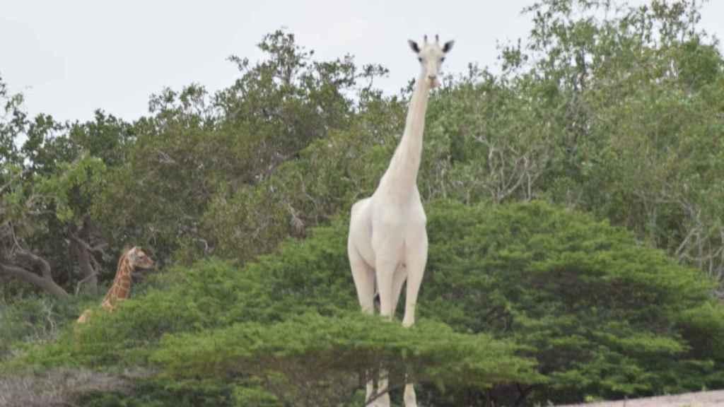 La madre girafa blanca en su esplendor.