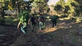 Varios agentes trasladan parte de las plantas de marihuana localizadas en la sierra de Granada.