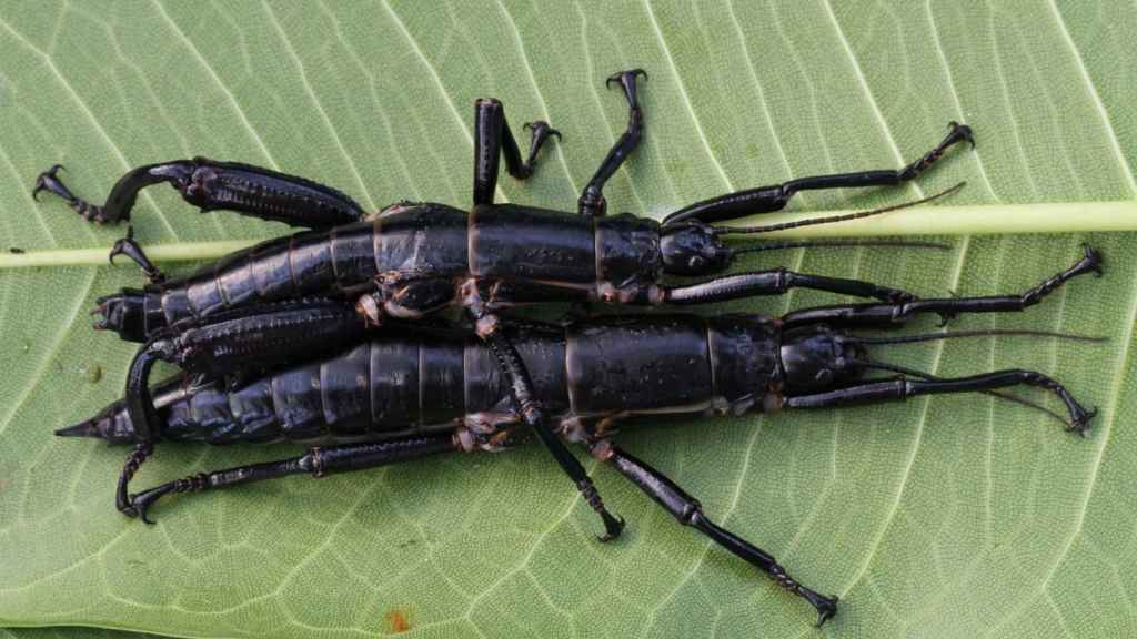 Un par de ejemplares del insecto de palo de Lord Howe.