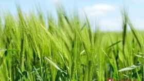 cereales campo cultivo 1
