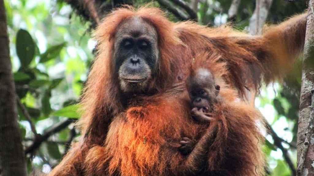 Orangután de Tapanuli y cría.