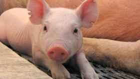¿El futuro está en los cerdos?