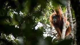 Un orangután de Tapanuli.