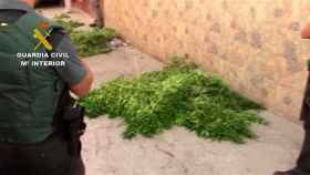 La Guardia Civil requisa más de 4000 plantas de marihuana.